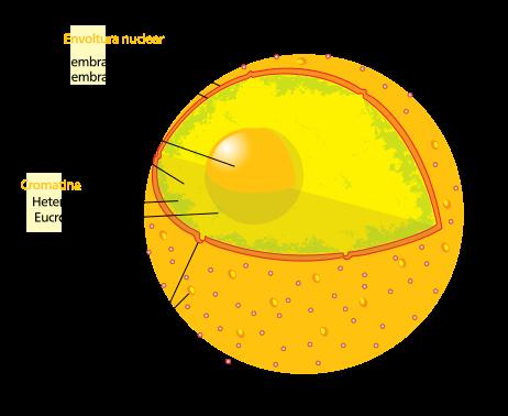 que es una celula, humana, nucleo