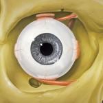 partes del ojo humano, anatomia del ojo humano