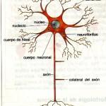 Neurona, celula del cerebro humano