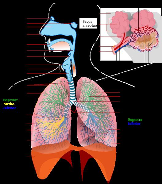 aparato respiratorio, sistema respiratorio