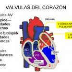 corazon, partes del corazon, sistema cardiaco