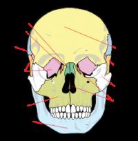 huesos-de-la-cara-rostro-craneo.png