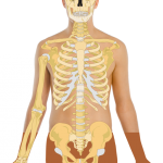 <b> Huesos del cuerpo humano, esqueleto, sistema oseo </b>