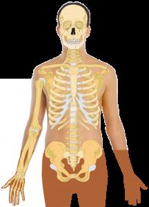 huesos-del-cuerpo-humano-esqueleto-sistema-oseo.png