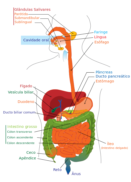 sistema-digestivo-digestion-intestinos
