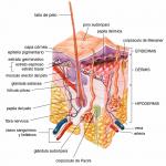 caracteristicas de la piel, funciones de la piel humana