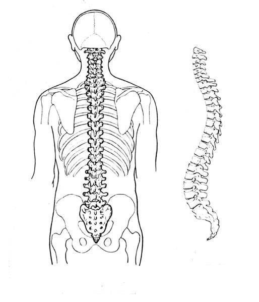 La importante columna vertebral: Aprende fácil sobre los huesos