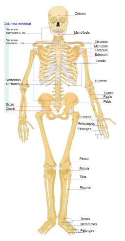 Huesos del cuerpo humano: Esqueleto humano: Partes, grupos, imágenes