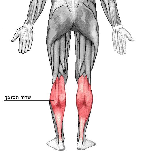 Musculos esqueleticos: Definición, características: Anatomía humana.