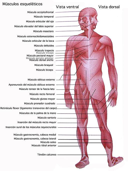 Musculos esqueleticos: Definición y más
