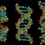 De izquierda a derecha, las estructuras de A-, B-y Z-ADN. La estructura de una molécula de ADN depende de su entorno., la b es es la más común. Zephyris at the English language Wikipedia [GFDL or CC-BY-SA-3.0], from Wikimedia Commons