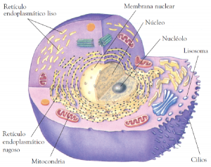 Organismos eucariontes, celulas eucariotas