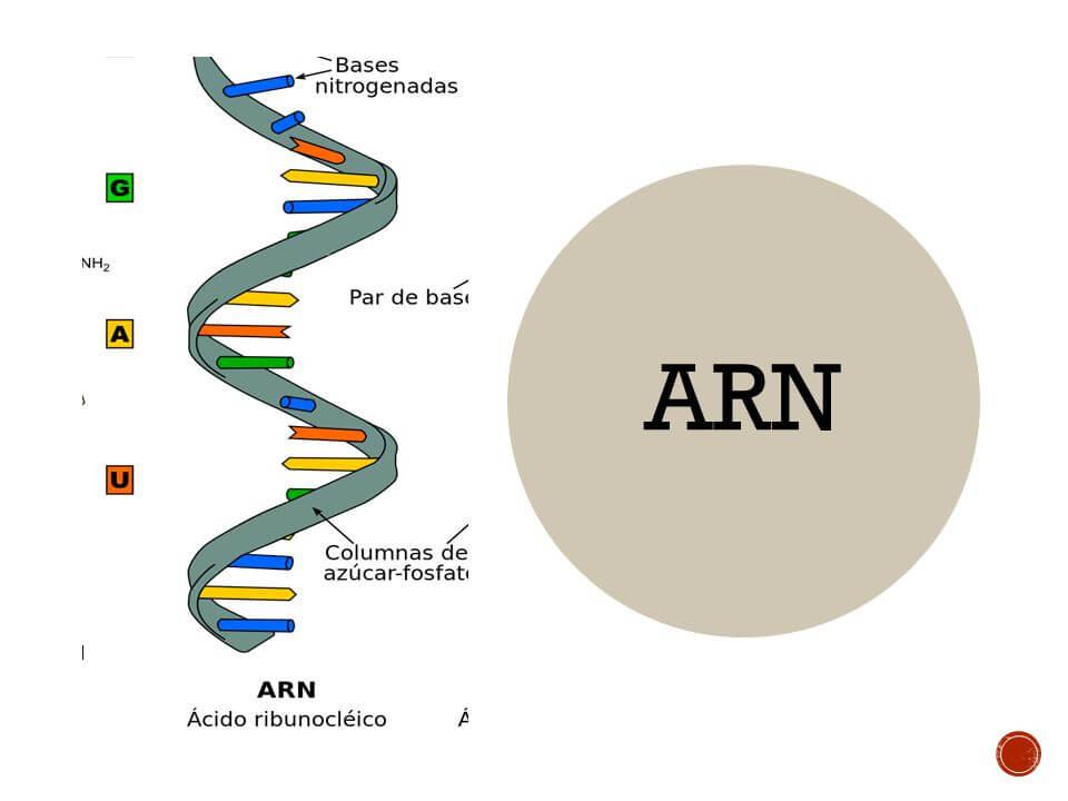 Estructura Del Arn Cuál Es Su Estructura Sus Funciones
